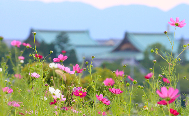 コスモスが咲くおやさとの風景