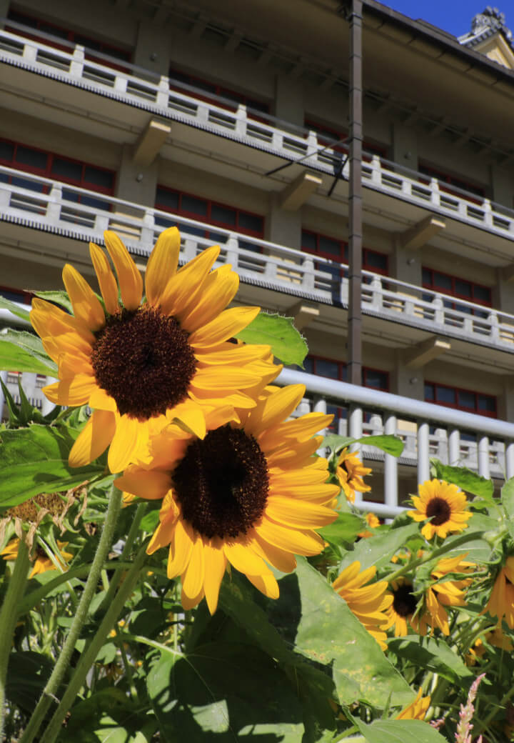 神殿南側・花壇<br>日盛りに仰ぐ向日葵