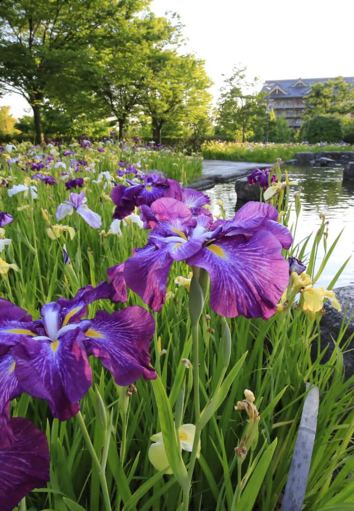 神殿西側・広場<br>水辺に群れ咲く花菖蒲