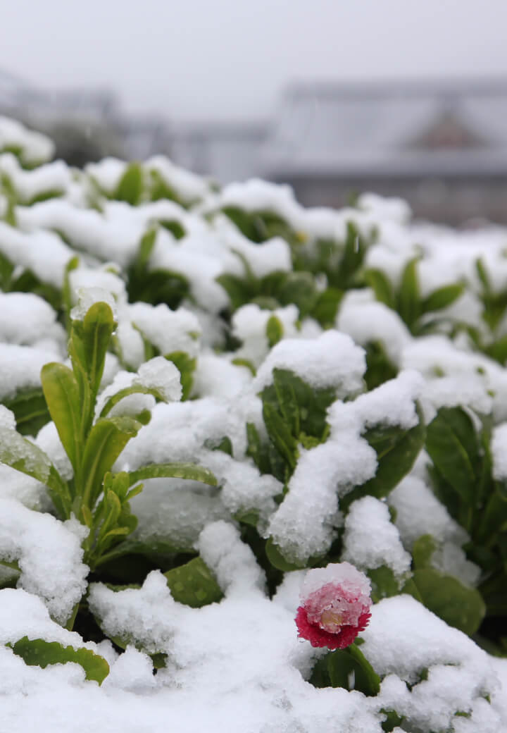 神殿東側・広場<br>雪から顔を出すガーベラ