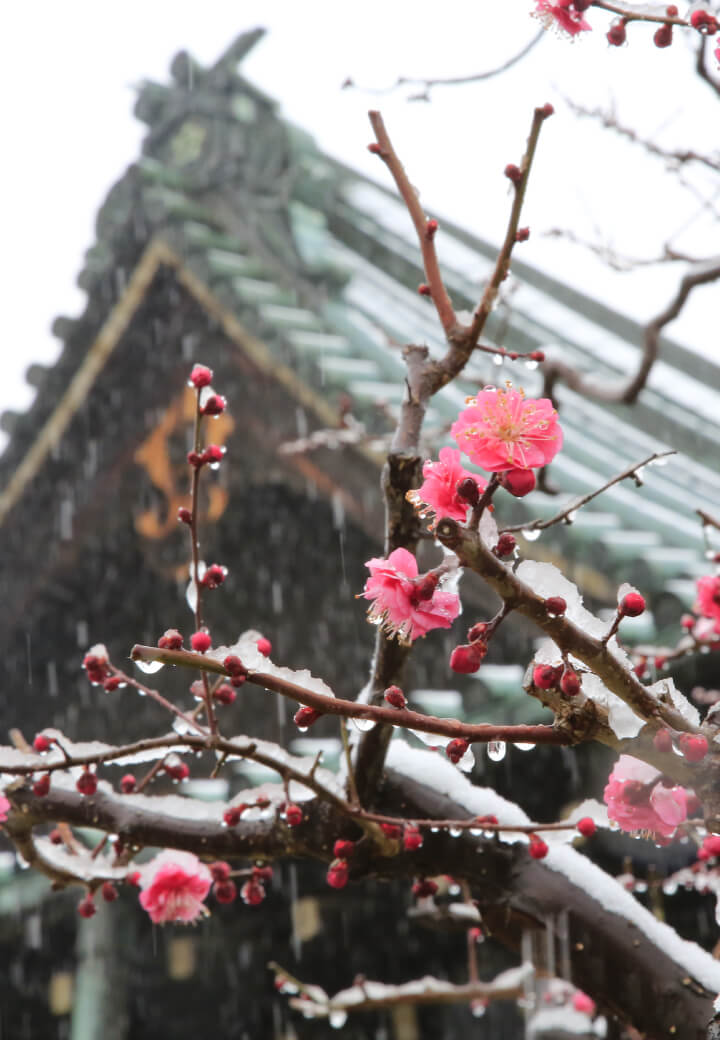 神殿北側・教祖殿前<br><ruby><rb>凛</rb><rp></rp><rt>りん</rt><rp></rp></ruby>と咲く紅梅