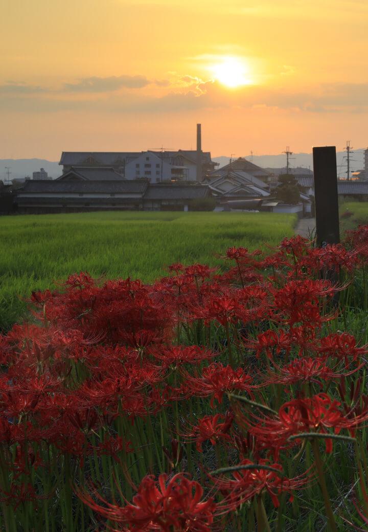 神殿北側・田園<br>あぜ道に咲くヒガンバナ
