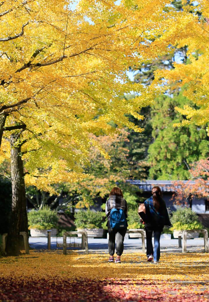 神殿東側・和楽館近く<br>イチョウ並木